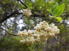 アオモジの花