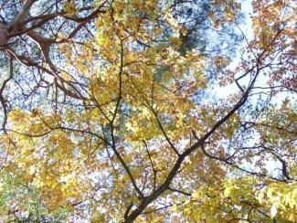 コナラの黄葉