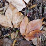 タカノツメ落葉